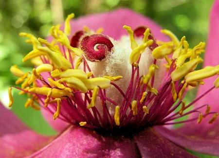 Paeonia mascula subsp. mascula par Liliane PESSOTTO