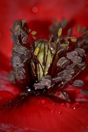 Papaver rhoeas L. par M. BENEZECH