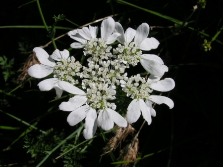 Orlaya grandiflora (L.) Hoffm. par Marie-France PACAUD