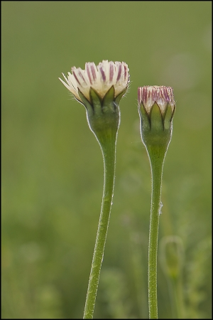 Urospermum dalechampii (L.) Scop. ex F.W.Schmidt par François GRANJA