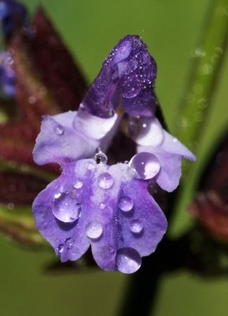 Salvia officinalis L. par Liliane PESSOTTO