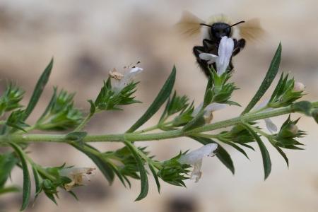 Satureja montana L. par Martine Benezech
