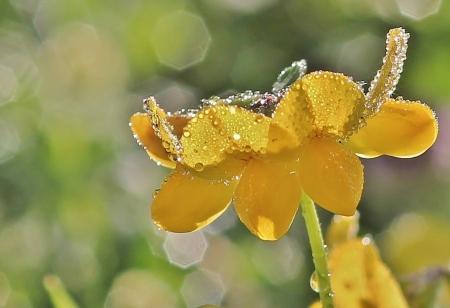Lotus corniculatus L. par Gilles SALAMA