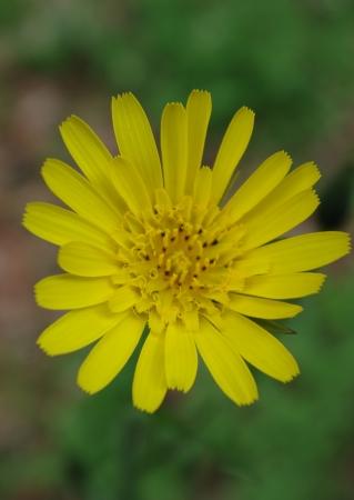 Tragopogon pratensis L. par Gisèle ARLIGUIE