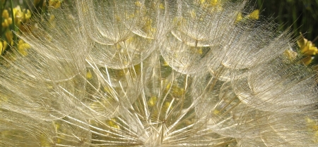 Tragopogon pratensis par Madeleine SARRAN