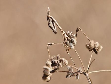 Torilis arvensis (Huds.) Link  par Gilles SALAMA