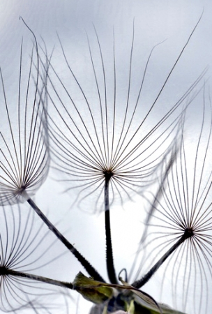 Tragopogon pratensis par Jean-Landry NICOLAS