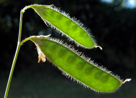 Lathyrus hirsutus L. Par Liliane PESSOTTO