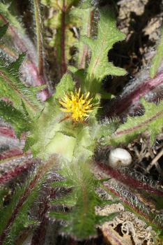 Centaurea benedicta cc by sa Liliane Roubaudi