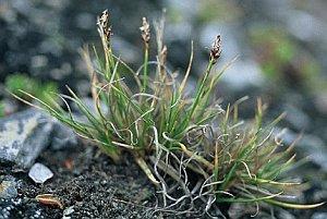 Carex glacialis Mackenzie