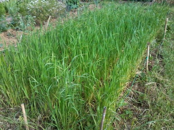 culture de blé paysan