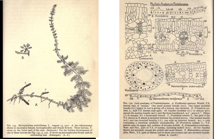 Myriophyllum verticillalum et Anatomie de la feuille de Pontederiaceae par Agnes Arber