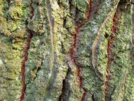 Quercus cerris L. par Annick LARBOUILLAT