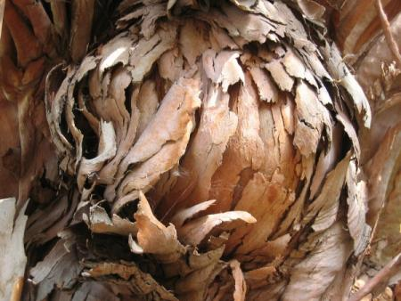 Eucalyptus par Madeleine SARRAN