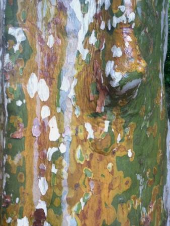 Platanus acerifolia var. minor Ten. par Danielle SORRENTINO