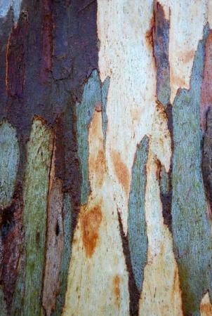 Eucalyptus par Muriel MARTINET