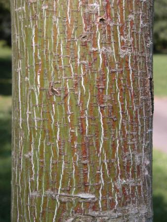 Acer pensylvanicum ssp. capillipes (Maxim.) Wesmael par Annick LARBOUILLAT