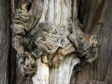 Taxodium mucronatum par liliane pessotto