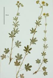 Potentilla pedata (Herbier Tison)