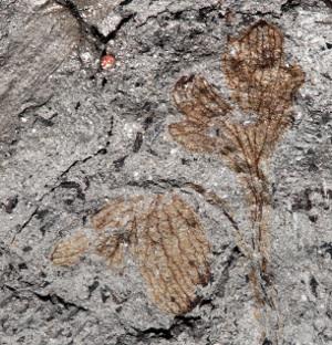Le fossile étudié par Nathan Jud