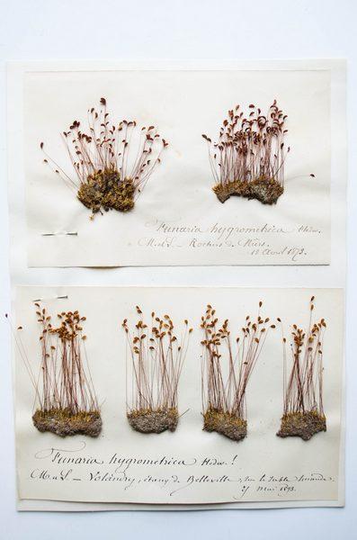 Planche de mousses Funaria hygrometrica