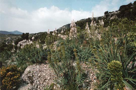 Garrigue à Asphodèles