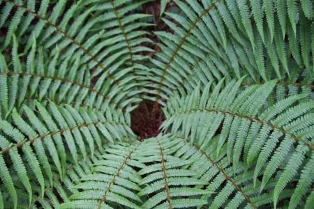 Dryopteris affinis (Lowe) Fraser-Jenk.  par Alain LÉTRANGE