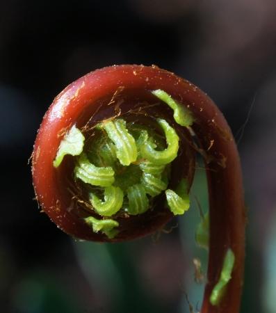 Blechnum spicant (L.) Roth  par Liliane PESSOTTO