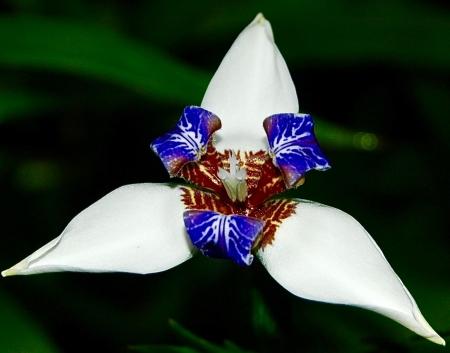 Neomarica gracilis par Madeleine SARRAN