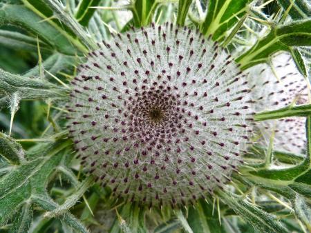 Cirsium eriophorum  (L.) Scop. par Madeleine SARRAN