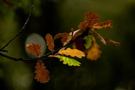 Quercus pubescens Willd. par Martine BENEZECH