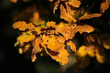 Quercus pubescens par Jean-François ROUFFET