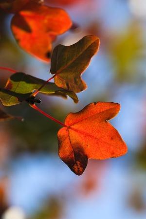 Acer monspessulanum L. par Martine BENEZECH