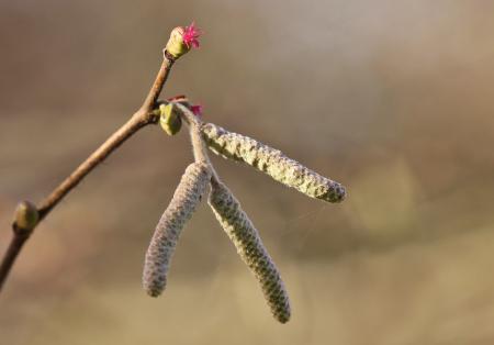 Corylus avellana L. par Gilles SALAMA