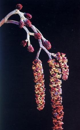 Alnus glutinosa (L.) Gaertn. par Liliane ROUBAUDI