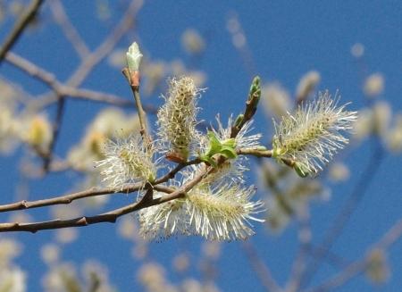 Salix caprea L. par Gisèle ARLIGUIE