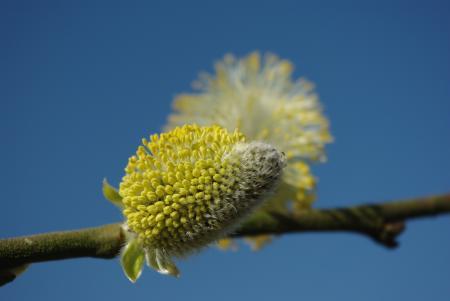 Salix caprea L. par Myriam JOUANNY