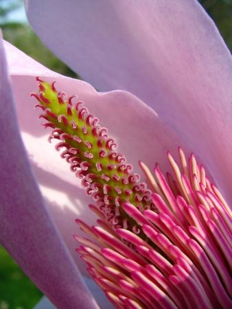 Magnolia campbellii par Nicolas PERRETTE