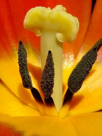 Tulipa L. par Denis NESPOULOUS
