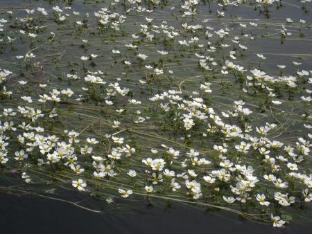 Ranunculus aquatilis L.  par Inge WULLWEBER
