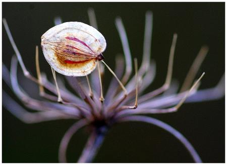 Heracleum sphondylium L. par Pierre PAPLEUX
