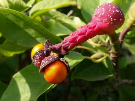 Magnolia acuminata var. subcordata par Inge WULLWEBER