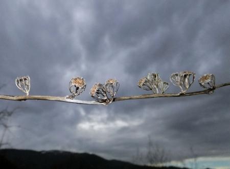 Campanula trachelium L. par Michel DEPEYRE