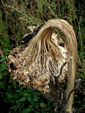 Helianthus annuus subsp. annuus  par Renée FAURE MAISONNEUVE