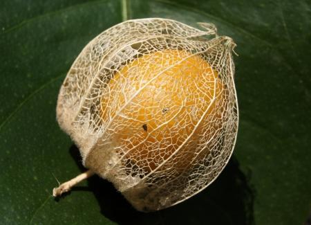 Physalis peruviana L.  par Liliane PESSOTTO