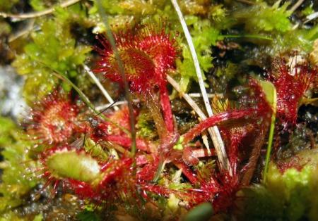 Drosera rotundifolia L.  par Renée FAURE MAISONNEUVE