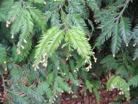 Sequoia sempervirens (D.Don) Endl.  par Jeanne MULLER