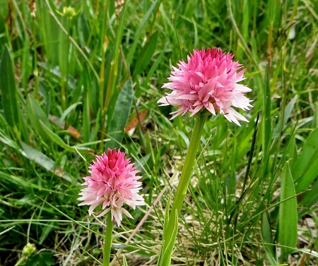 Gymnadenia nigra subsp. corneliana  par Madeleine SARRAN