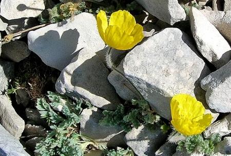 Papaver alpinum var. aurantiacum (Loisel.) B.Bock  par Anne VINCENT