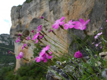 Dianthus pungens subsp. ruscinonensis (Boiss.) M.Bernal, M.Laínz & Muñoz Garm.  par Danièle DOMEYNE